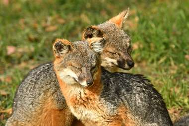 foxes on Channel Islands