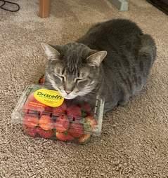 Cat snuggles strawberries
