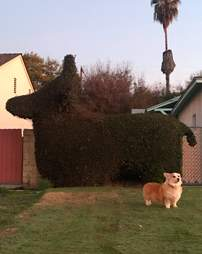 Dog meets a dog-shaped topiary