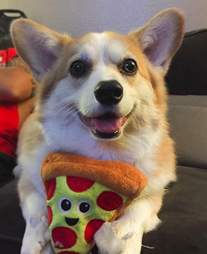 Luna the corgi plays with her toy