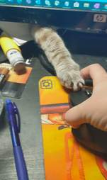 Cat plays with computer mouse