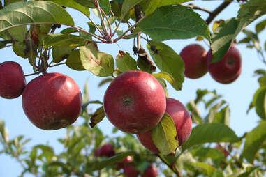 Barton Orchards apples