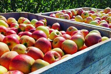The Milk Pail U-Pick Farm's apples