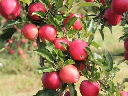 Apples at Wilkens Fruit and Fir Farm