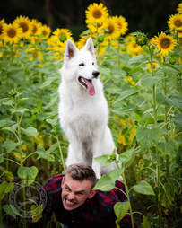 Dog poses for funny picture with sunflowers