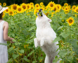 Dog tries to eat sunflower