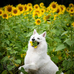 Dog tries to eat sunflower during photoshoot