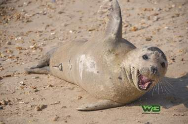 Sammy the seal relaxes on Weymouth beach