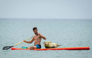 Sammy the seal hitches a ride on a paddleboard