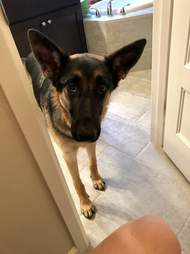 Leia the German shepherd waits for her dad