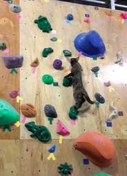 Lalah the cat boulders up wall in rock climbing gym