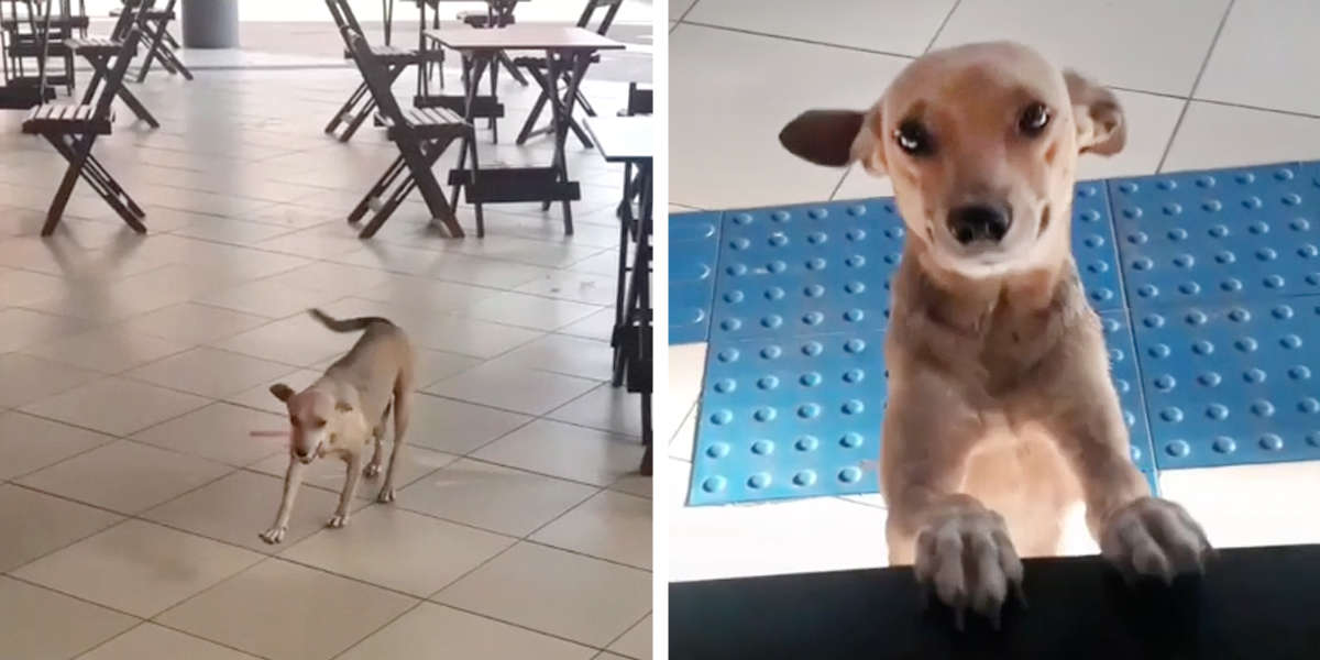 Sweet Stray Dog Visits Café Every Day