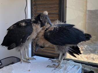 Two baby vultures abandoned by mom