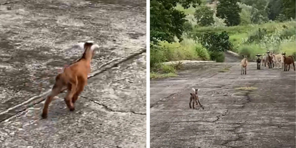 Lost Baby Goat Is Overjoyed To Be Reunited With His Family