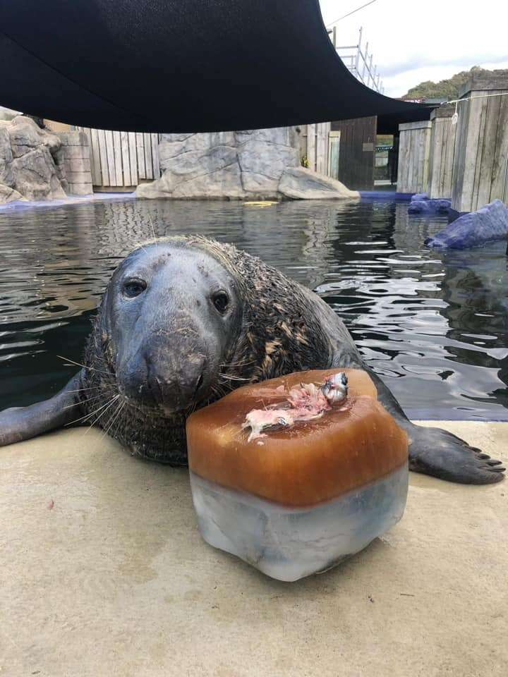 Grey seal gets special ice cake for birthday