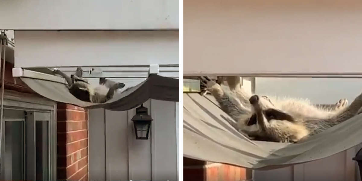 Sleepy Raccoon Achieves Peak Relaxation On Family's Porch Awning