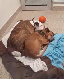 Bonded dogs sleep together at the shelter