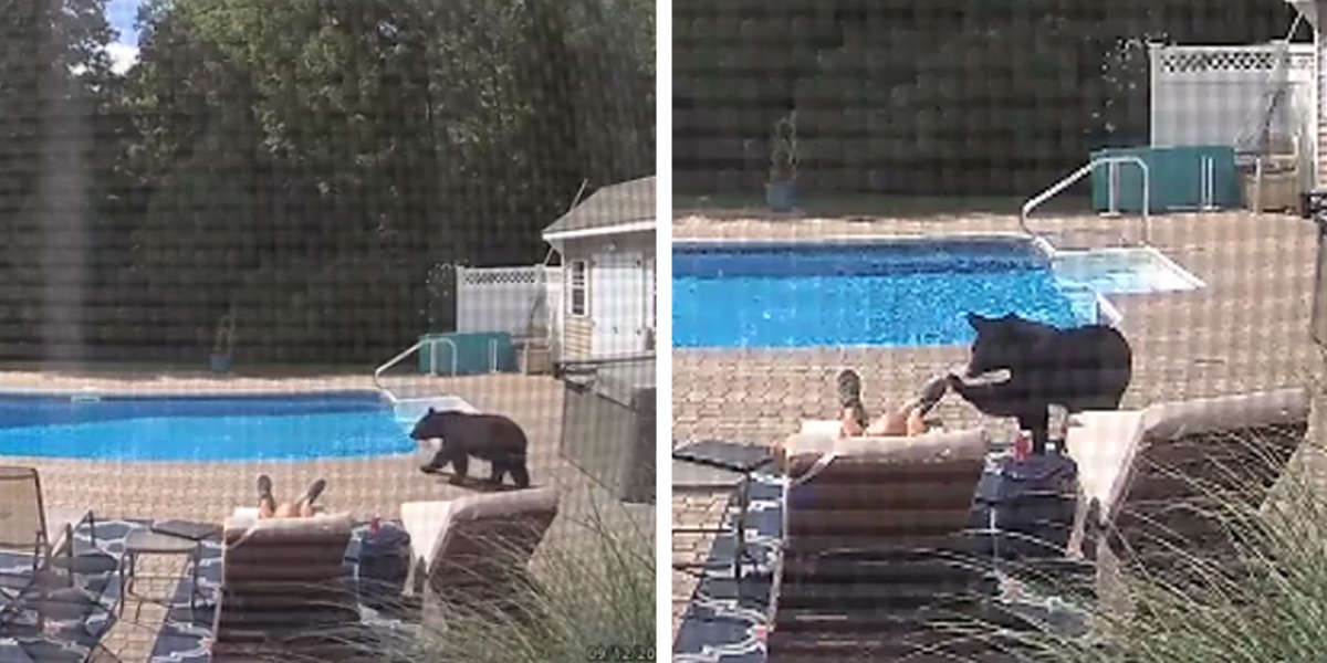 Curious Bear Gently Awakens Man Napping By Pool