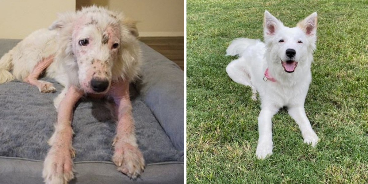 Nearly Hairless Dog Is So White And Fluffy Now