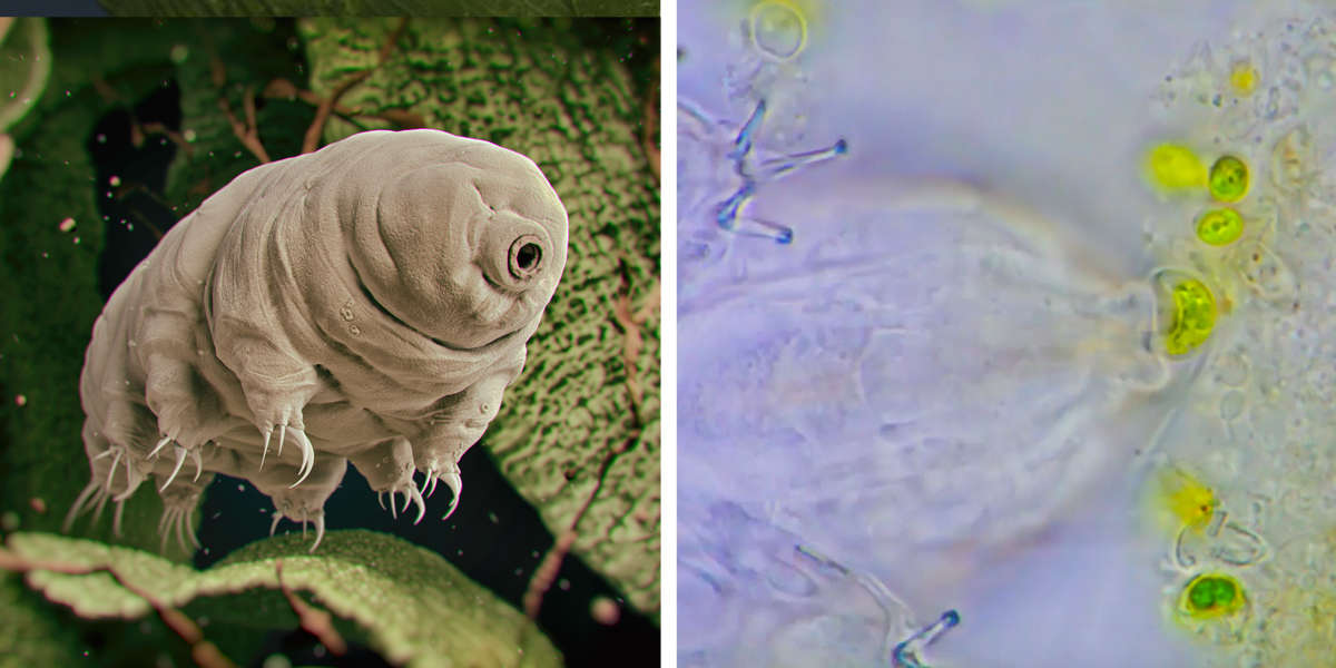 Camera Captures Adorable Little 'Water Bear' Enjoying A Tiny Snack