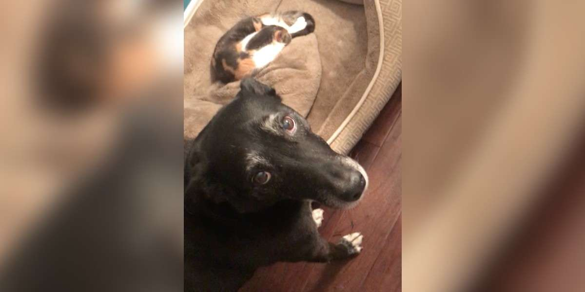 Dog Is Too Polite To Ask Cat To Get Out Of His Bed