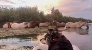 dog watches wild horses
