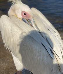 Ovi the pelican visits seafood restaurant