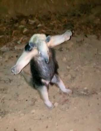 Anteater holds out his arms in a hug