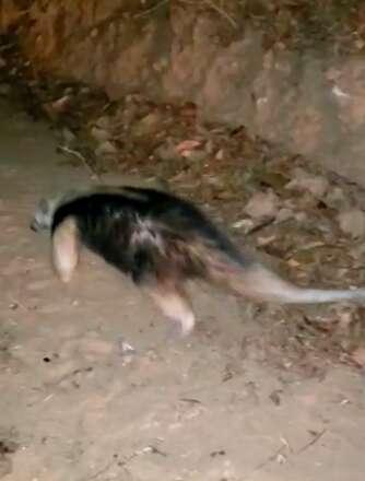 Anteater flees fires in Brazil