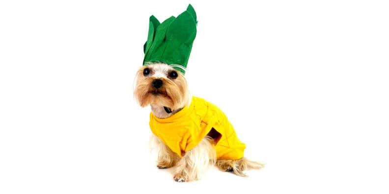 pineapple dog halloween costume