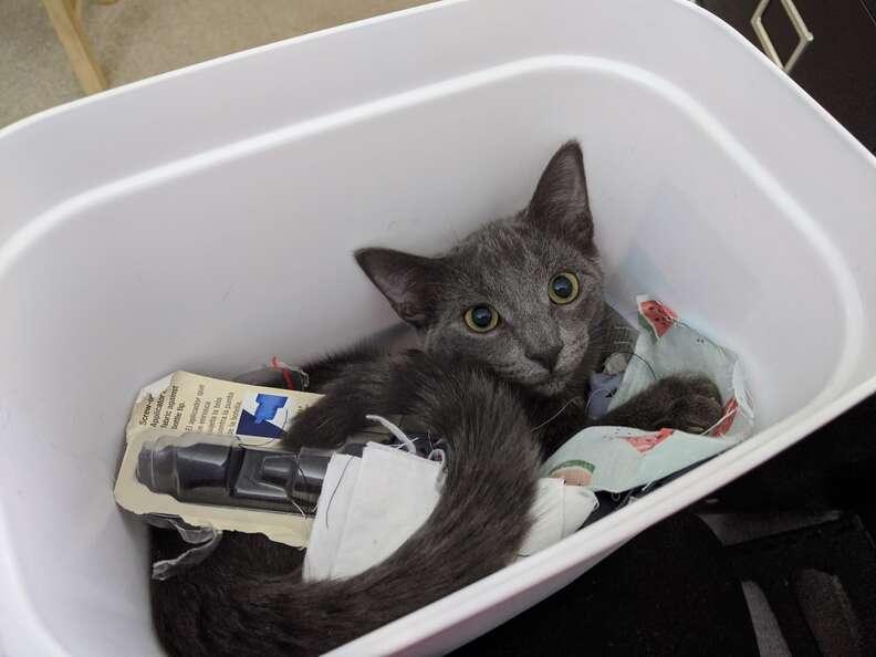 Graycie the cat steals food