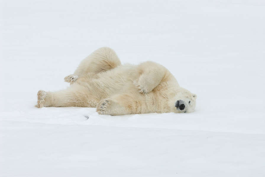 Watch This Polar Bear Live Stream to Ease the Stress of Your Chaotic Life