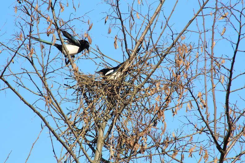 Magpie couple building a nest