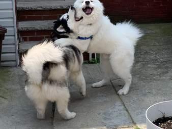 Dog hugs his husky friend