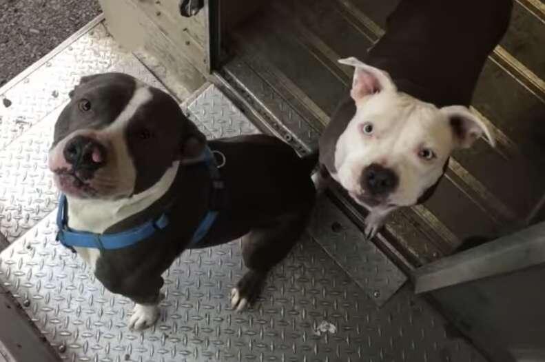 ups driver loves pit bulls