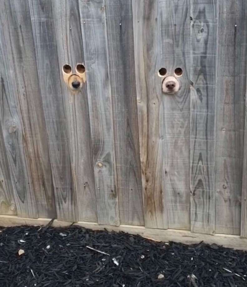 Dogs watch mom through a peephole in fence
