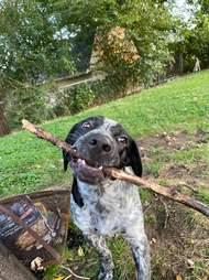 dog holds stick