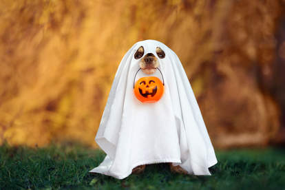 Dog in a ghost costume holding a pumpkin in mouth