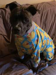 dog wears pajamas