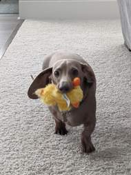 dog holding duck toy