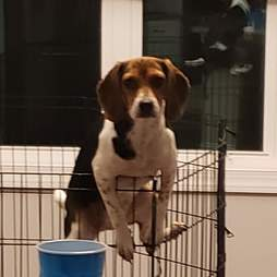 puppy gets caught trying to escape from playpen