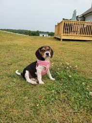 cute puppy in harness