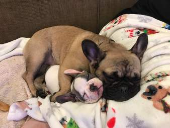 Bulldog snuggles her tiny puppy sister when they first meet