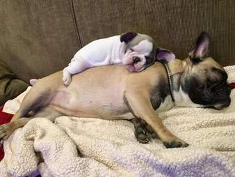 Tiny Puppy sleeps on top of her big dog sister