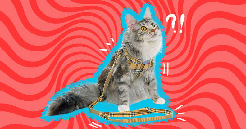 cat in plaid leash and harness