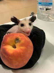Naked possum baby at wildlife rescue