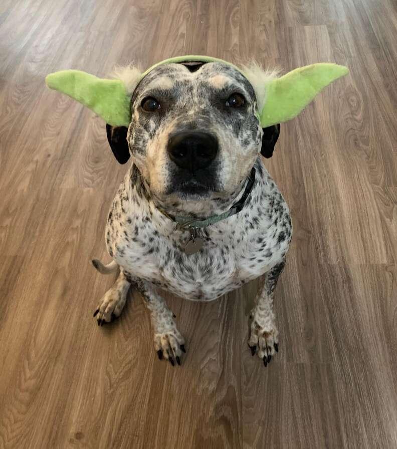 dog wearing ears