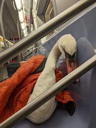Sick swan takes the New York subway