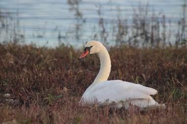Sick swan rescued in New York
