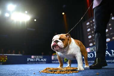 thor bulldog, national dog show 2019